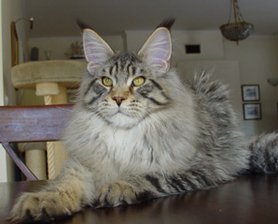 maine coon kocieta